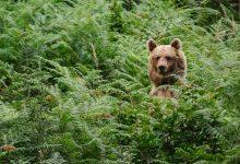 Kako srečati medveda na Brezovici